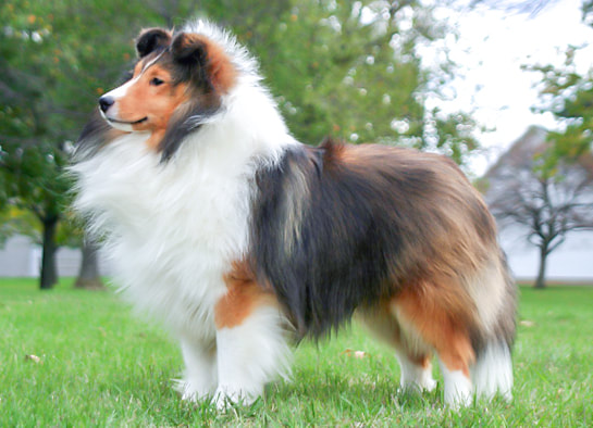 Oak Knoll Shelties Home