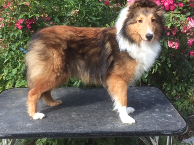 Available Oak Knoll Shelties